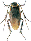Amerikansk-kackerlacka