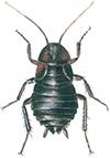 Hona-orientalisk-kackerlacka