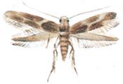Mal-Oinophila-v-flava