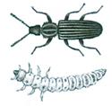 Sagtandad-plattbagge-och-larv