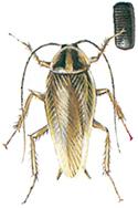 Tysk-kackerlacka-med-aggkapsel