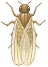 attikfluga