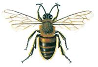 Honungsbi