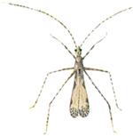 Rovskinnbagge-Empicoris-culiciformis