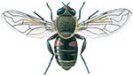 Storslamfluga