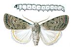 Allmant lovfly och larv