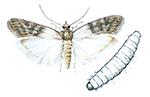 Indiskt-mjolmott-och-larv