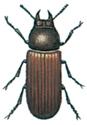 Kaksvartbagge-Gnathocerus-cornutus