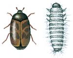 Khaprabagge-och-larv