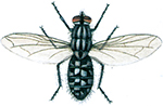 Kottfluga