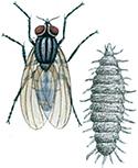 Liten-husfluga-takdansfluga-och-larv