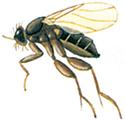 Puckelflugor