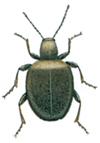 Tjuvbagge-Sphaericus-gibbioides