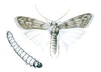 kvarnmott-och-larv