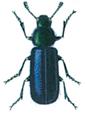 Brokbagge-Korynetes-caeruleus