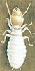 Termit-Reticulitermes-flavipes