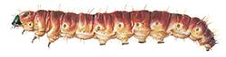 Vedborrens-roda-larv