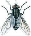 Allman stickfluga