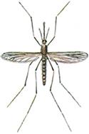 Malariamygga