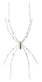 Spindel-Pholcus-phalangoides
