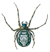 Spindel-Zygiella-X-notata