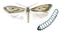 Trepunkterad-skrapmal-och-larv
