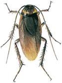 Amerikansk kackerlacka