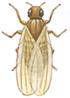 Bananfluga