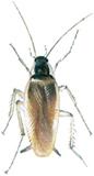 Brunbandad kackerlacka