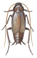 Orientalsk kakerlak, han