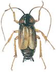 Orientalisk kackerlacka hona