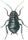 Orientalisk kackerlacka
