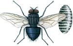 Spyfluga och puppa