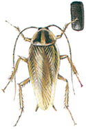 Tysk kackerlacka