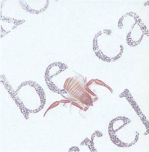 Bokskorpioner jagar kvalster och dammlöss
