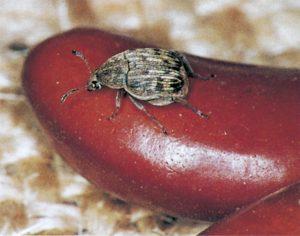 Bruna bönor angripet av bönbaggen