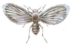 Fjärilsmygga