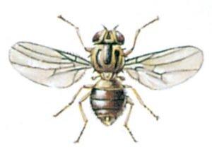 Gräsfluga
