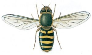 Gul solblomfluga