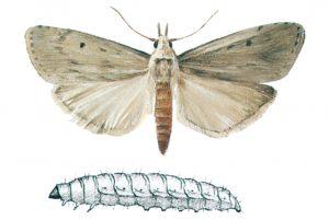 Humlemott och larv