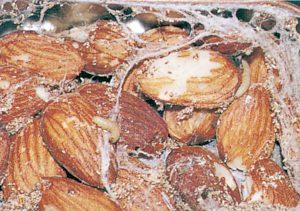 Indiska mjölmottslarver i mandlar