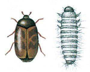 Khaprabagge och larv