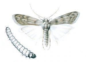 Kvarnmott och larv
