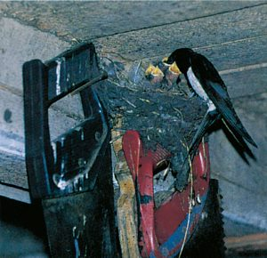 Ladusvala som bygger sitt rede på en takbjälke