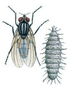 Liten husfluga och larv