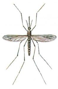 Malariamygg