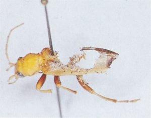 Mattbaggar kan leva av döda insekter
