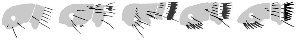 Olika arter av loppor skiljs åt genom borstar och hår