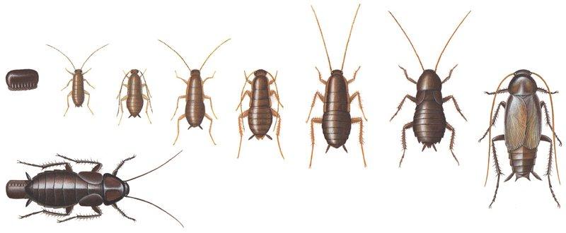 Orientalisk kackerlacka, utveckling