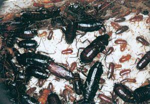 Orientalisk kackerlacka, vuxna och nymfer